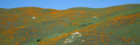 California Poppies, Spring Wildflowers, Antelope Valley, California stock images