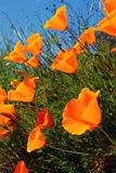 California Poppy Flowers Growing Wild. California poppies, the state flower, growing wild in California. Also known as Cup of Gold, Golden Poppy, and California Royalty Free Stock Images