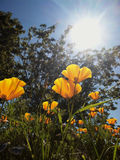 California poppies in sunlight Stock Image