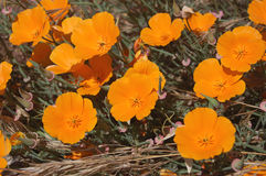 California poppies in the sunlight. Close up of bright orange California poppies in the sunlight Stock Photos