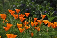California Poppies at Sunset Cliffs Stock Photography