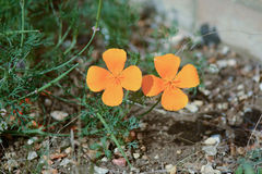 California poppies. Two orange California poppies in garden Royalty Free Stock Photography