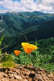 California Poppies Stock Photos