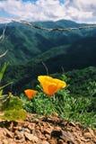 California Poppies. Vibrant orange California poppies in the Santa Cruz mountains Stock Photos