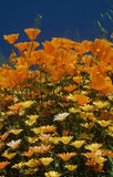 California poppies and wildflowers Stock Photo