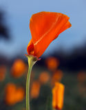 California poppy. California wild poppy flower, with one in focus and few others out of focus. Green background and a bit of blue sky Stock Image