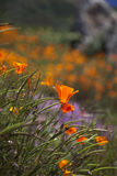 California Poppy  Stock Photography