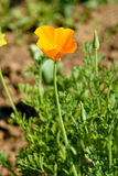 California poppy Royalty Free Stock Photography
