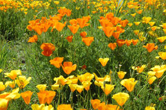 California Poppy Stock Photos