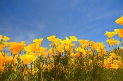 California poppy. Close-up of california poppy field againt blue sky stock image