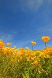 California poppy. Wild california poppy close-up againt blue sky royalty free stock image