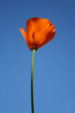 California Poppy. A single California Poppy with the bright blue sky as a background Royalty Free Stock Photos