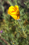 California poppy Royalty Free Stock Photo