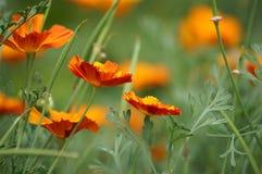 California poppy Stock Photos