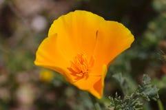 California poppy. Close-up of a golden California poppy Royalty Free Stock Photography