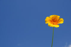 California poppy Stock Image