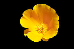 California Poppy Stock Images