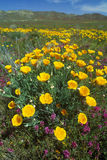 California Poppy in bloom, Northern CA Stock Photography