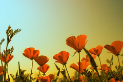 California poppy bloom Stock Images