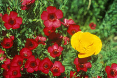 California Poppy in bloom, Ventura County, CA Royalty Free Stock Images