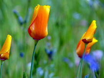 California poppy buds. Californian poppy buds one of them in focus three more blurred, green blurred background with hints of blue Royalty Free Stock Photo