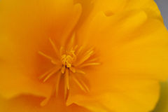 California Poppy Detail Stock Photo