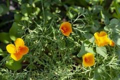 California Poppy. Eschscholzia. stock photo