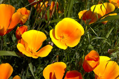 California poppy,eschscholzia californica Stock Image