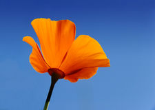 California poppy - Eschscholzia californica Royalty Free Stock Images