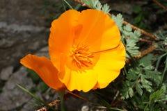 California poppy, Eschscholzia californica. The other names : Amapola de California, Eschscholzia californica, Pavot d'Am stock photos