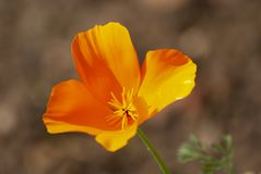 California poppy royalty free stock photos
