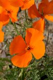 California Poppy Eschscholzia californica Close Up Royalty Free Stock Image