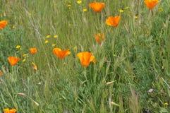 California Poppy Eschscholzia californica in meadow Stock Photo
