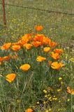 California Poppy Eschscholzia californica in meadow Royalty Free Stock Photo