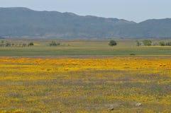 California Poppy Eschscholzia californica in meadow Royalty Free Stock Image
