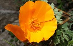 California poppy, Eschscholzia californica. The other names : Amapola de California, Eschscholzia californica, Pavot d'Amérique, Pavot de Californie stock images