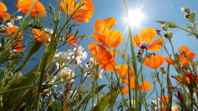 California Poppy (Eschscholzia californica) Stock Images