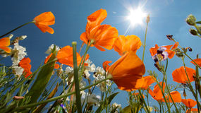 California Poppy (Eschscholzia californica) Stock Photo