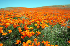California Poppy Field. A gorgeous display of nature\'s beauty in this image from a Californian Poppy Reserve Stock Photography