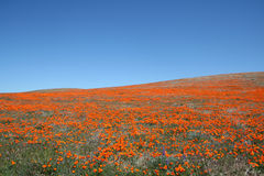 California Poppy Field Royalty Free Stock Images