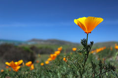 California poppy field, Big Sur, California Royalty Free Stock Image