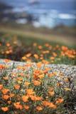 California poppy field. Stock Photos