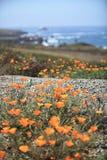 California poppy field. Royalty Free Stock Images