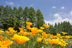 California poppy field Royalty Free Stock Photos