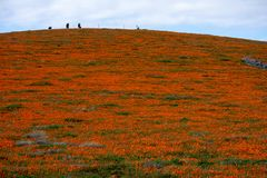 California Poppy field in the desert on cloudy day with sunbeams coming through clouds Eschscholzia californica and a sloping up royalty free stock photos