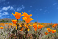 California poppy field in springtime, USA Royalty Free Stock Photo