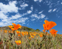 California poppy field in springtime, USA Stock Photos