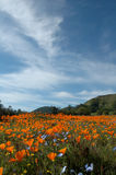 California Poppy Fields. A wide angle view from a low perspective on a field of California Poppies, Baby Blue Eyes, and Goldfields Stock Photos