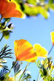 California poppy flower Royalty Free Stock Images