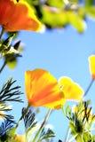 California poppy flower Royalty Free Stock Images